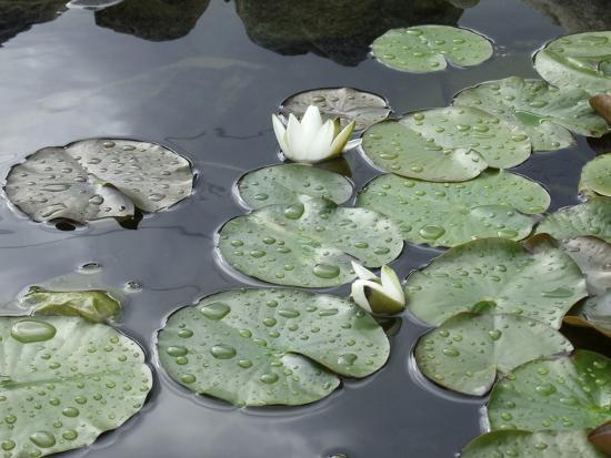 anna-miller-pond-with-waterlily
