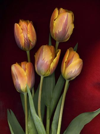 anna-miller-yellow-orange-tulips-on-red