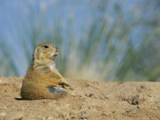 annie-griffiths-a-prairie-dog-sits-outside-its-burrow-entrance