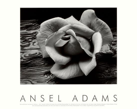 ansel-adams-rose-and-driftwood-san-francisco-california