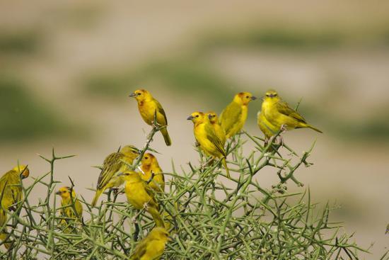 anthony-asael-kenya-amboseli-national-park-yellow-canary-or-weaver