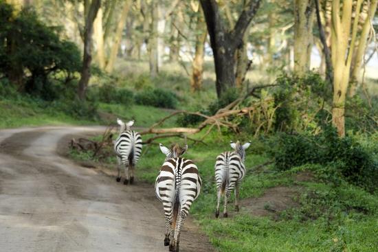 anthony-asael-kenya-lake-nakuru-national-park-rear-view-on-3-zebras-at-sunset
