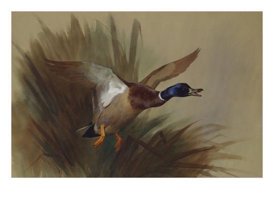 archibald-thorburn-a-mallard-rising-from-reeds