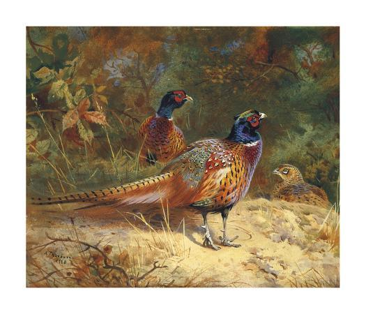 archibald-thorburn-cock-and-hen-pheasants-in-the-woodlands