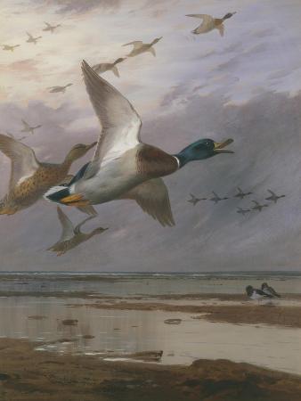 archibald-thorburn-duck-rising
