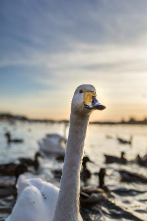 arctic-images-swans-and-ducks-in-pond-reykjavik-iceland