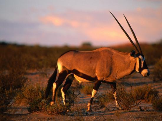 ariadne-van-zandbergen-gembsbok-or-oryx-oryx-beisa-kgalagadi-transfrontier-park-northern-cape-south-africa