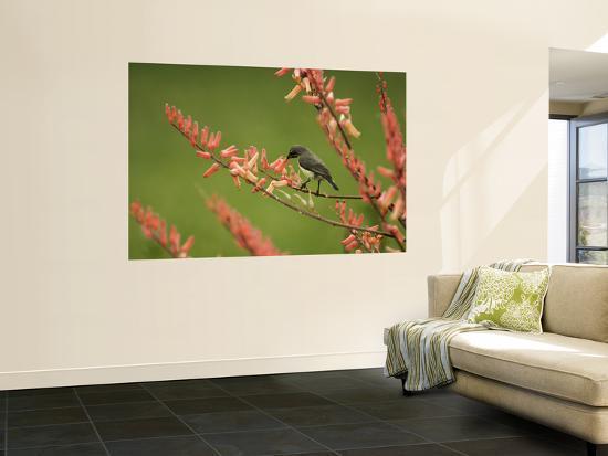 ariadne-van-zandbergen-immature-beautiful-sunbird-cinnyris-pulchella-feeding-from-aloe