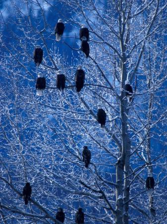 art-wolfe-bald-eagle-roosting-in-cottonwoods-chilkat-river-alaska-usa