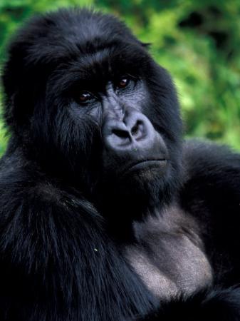 art-wolfe-mountain-gorilla-virunga-volcanoes-national-park-rwanda