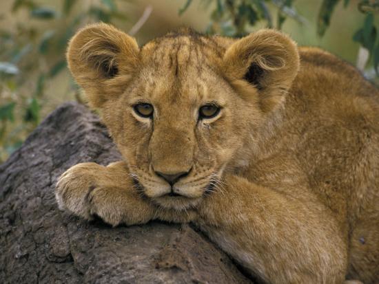 art-wolfe-portrait-of-a-lion-kenya