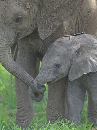 arthur-morris-african-elephant-mother-holding-its-baby-s-trunk-loxodonta-africana-east-africa