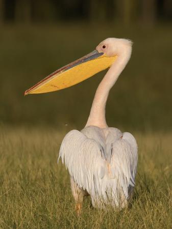 arthur-morris-african-white-pelican-pelecanus-onocrotalus-nakuru-national-park-kenya-africa