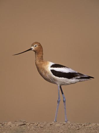 arthur-morris-american-avocet-showing-its-long-legs-and-bill-recurvirostra-americasna-usa
