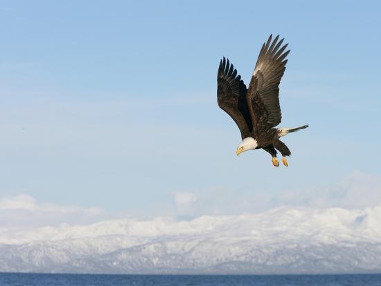 arthur-morris-bald-eagle-in-flight-with-upbeat-wingspread-homer-alaska-usa