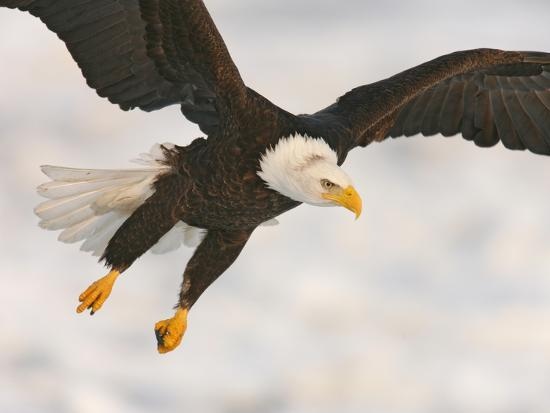 arthur-morris-bald-eagle-in-landing-posture-homer-alaska-usa