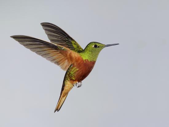 arthur-morris-chestnut-breasted-coronet-in-flight