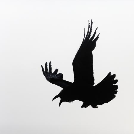 arthur-morris-common-raven-screaming