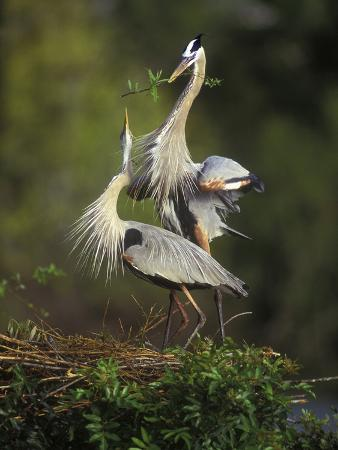 arthur-morris-great-blue-herons-in-courtship-display-at-the-venice-rookery-south-venice-florida-usa
