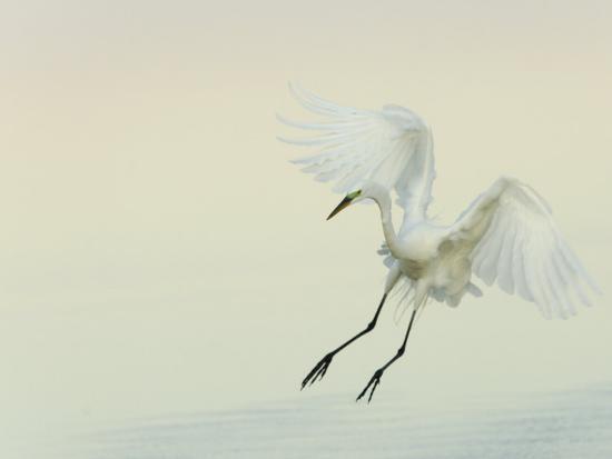 arthur-morris-great-egret-braking-to-land-ardea-alba-southern-usa
