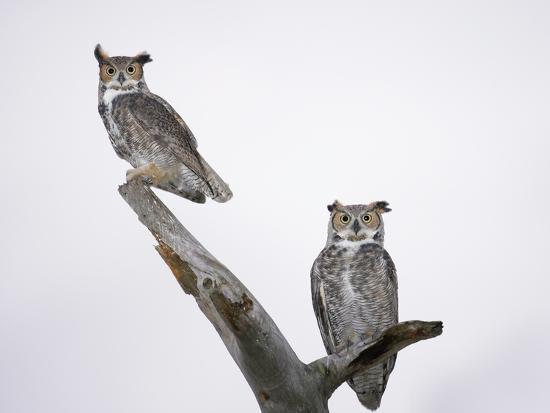 arthur-morris-great-horned-owls-on-branch