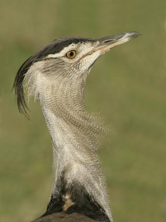 arthur-morris-kori-bustard-head-ardeotis-kori-ngorongoro-crater-tanzania-africa