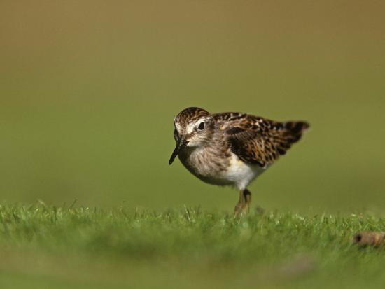arthur-morris-least-sandpiper-in-juvenile-plumage-calidris-minutilla-north-america