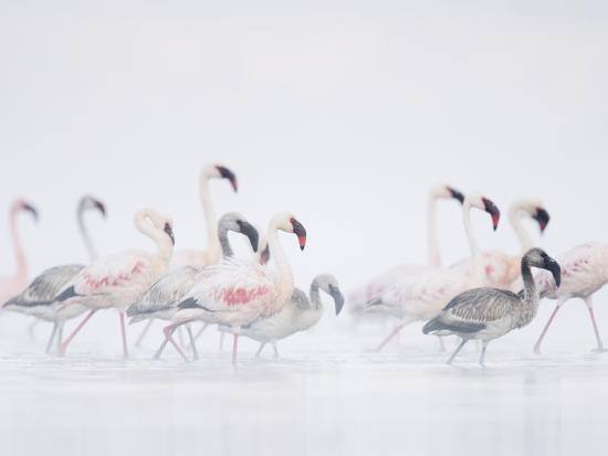 arthur-morris-lesser-flamingo-phoeniconaias-minor-adults-and-young-wading-through-water
