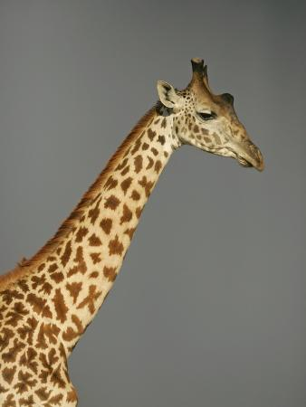 arthur-morris-maasai-giraffe-head-and-neck-against-a-background-of-gray-storm-clouds-giraffa-camelopardalis