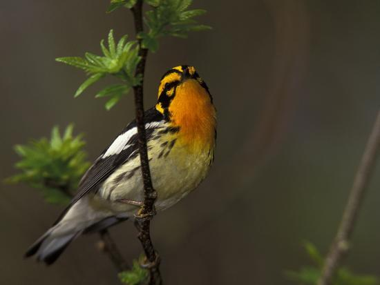 arthur-morris-male-blackburnian-warbler-in-breeding-plumage-pt-pelee-national-park-ontario-canada