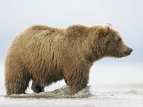 arthur-morris-shaggy-brown-bear-in-stream