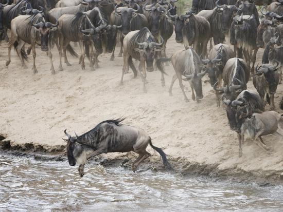 arthur-morris-wildebeests-or-gnus-jumping-into-the-mara-river-to-cross-during-migration