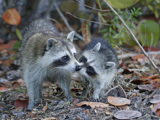 arthur-morris-young-raccoon-kissing-adult-ding-darling-national-wildlife-refuge-sanibel-florida-usa