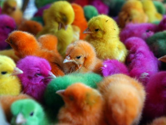 artificially-colored-chicks-crowd-together