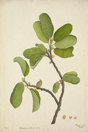 artocarpus-lakoocha-roxb-1800-10