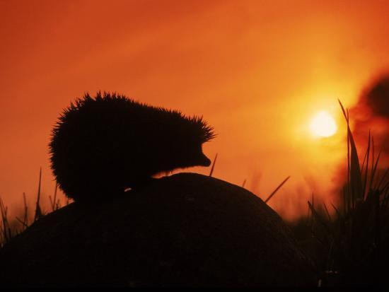 artur-tabor-hedgehog-erinaceus-europaeus-silhouette-at-sunset-poland-europe