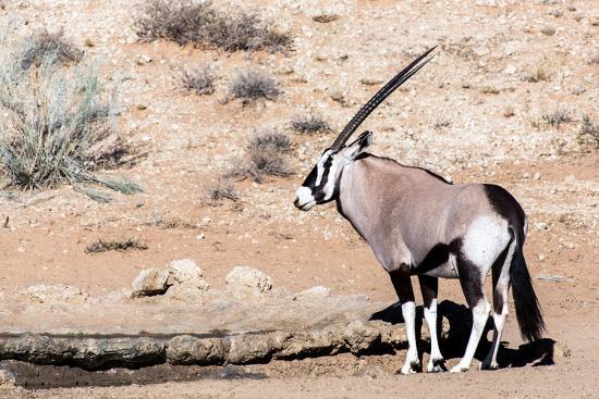 artush-gemsbok-oryx-gazella