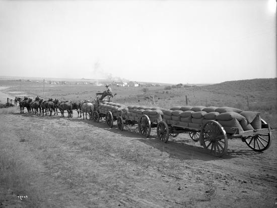 ashael-curtis-horses-pulling-wheat-wagons-1915