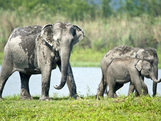 asian-elephants-elephas-maximus-at-the-riverside-india
