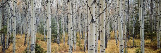 aspen-trees-in-a-forest-alberta-canada