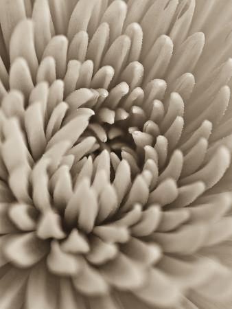 assaf-frank-chrysanthemum-flower