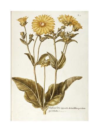 asteraceae-or-compositae