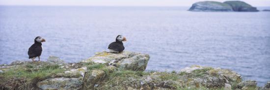 atlantic-puffins-perching-on-rocks-maberly-newfoundland-and-labrador-canada-fratercula-arctic