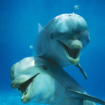 augusto-leandro-stanzani-bottlenose-dolphin-two-facing-camera