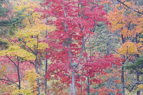 autumn-colour-maple-woodlands