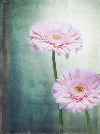 axel-killian-gerbera-flowers-blossoms-pink-still-life