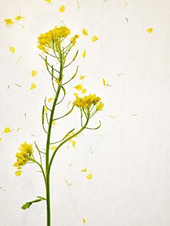 axel-killian-white-mustard-mustard-sinapis-alba-stalk-blossoms-yellow