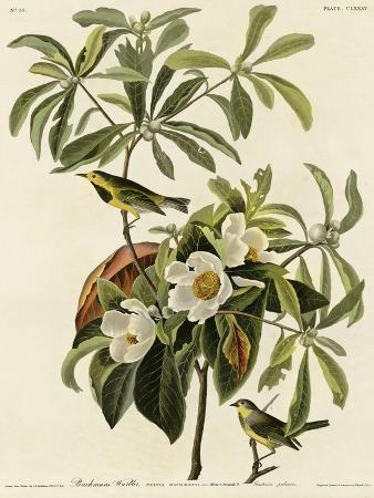 bachmans-warbler