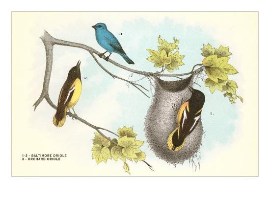 baltimore-oriole-orchard-oriole