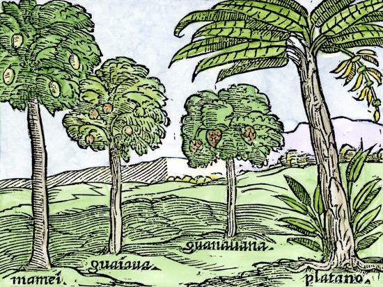 bananas-and-other-fruit-trees-of-hispaniola-from-a-sketch-published-in-1572